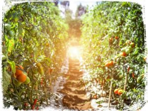 Sonhar com plantação de tomates