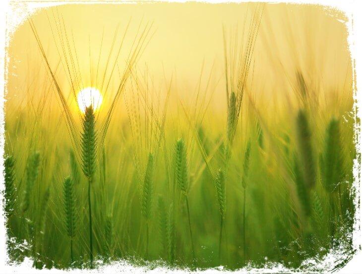 Sonhar com plantação de trigo