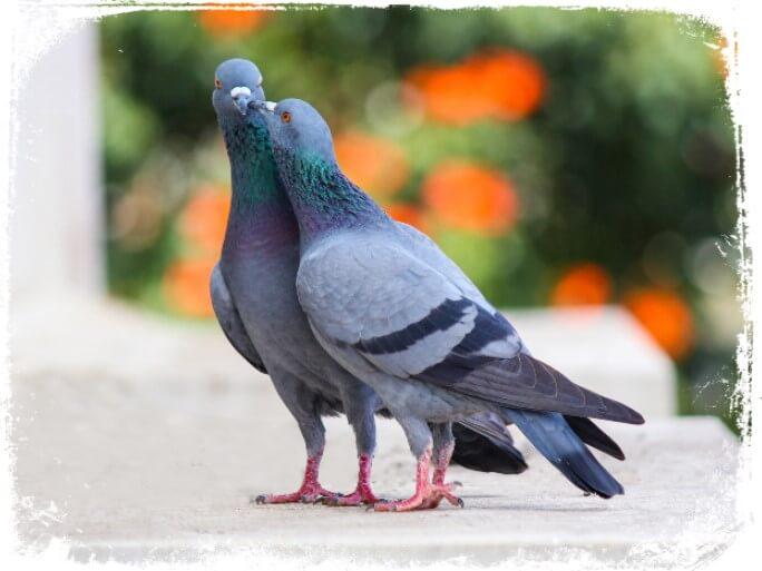 Sonhar com um casal de pombos