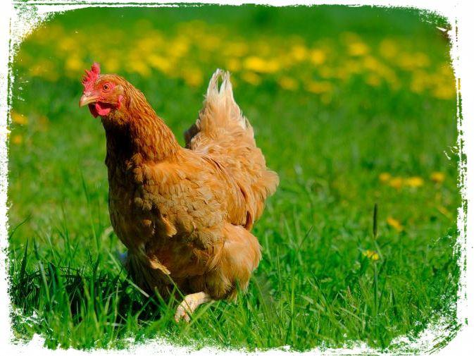 sonhar com galinha no campo