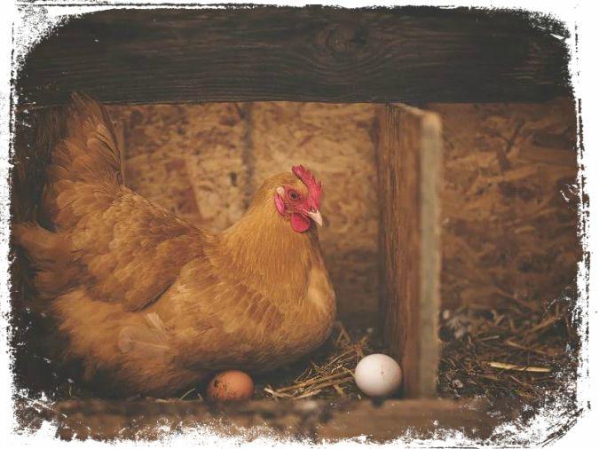 ovos de galinha em sonho