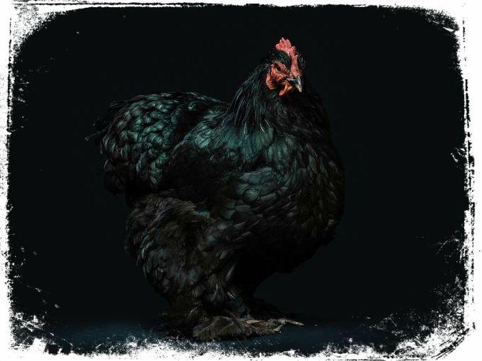 ver galinha preta em sonho e ruim