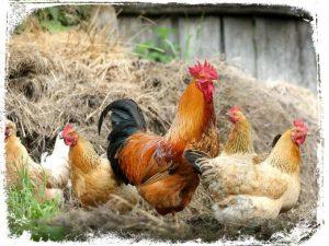 o que quer dizer sonhar com galo e galinhas