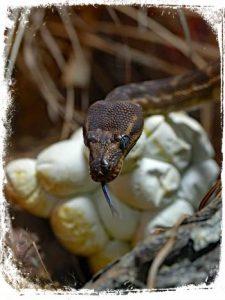 ovos de cobra em sonho