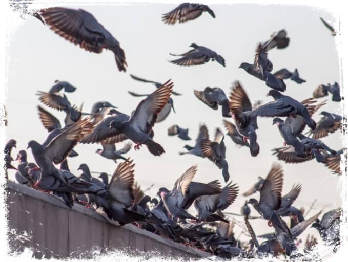 Sonhar com bando de pombos
