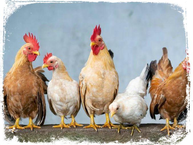 o que significa sonhar com galinhas
