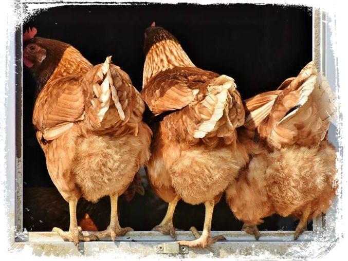 o que e sonhar com galinha
