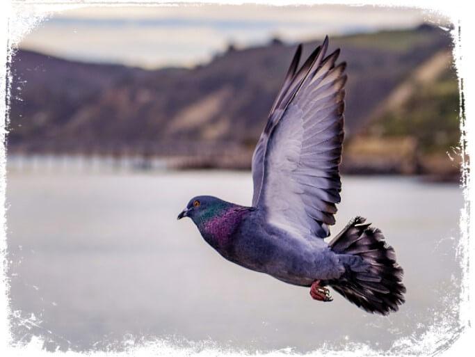 Sonhar com pombos e seus signifocados