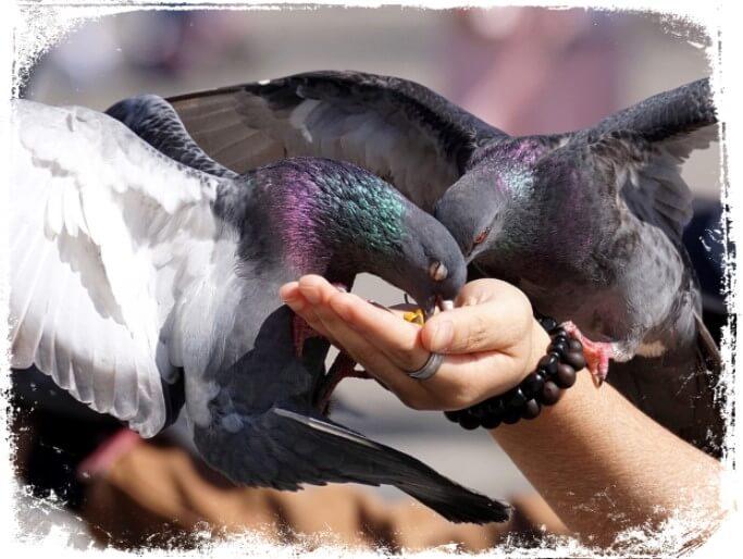 significados de Sonhar dando comida aos pombos