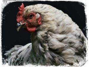 galinha em sonho significa aqui