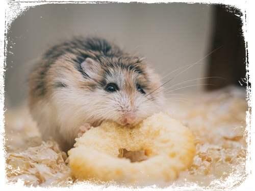 o que significa hamster comendo em sonho