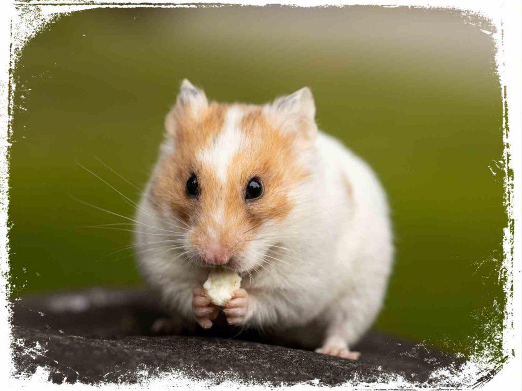 qual interpretação de hamster em sonho