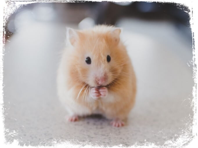 O que significa sonhar com hamster