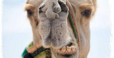 o que quer dizer sonho com camelo bravo