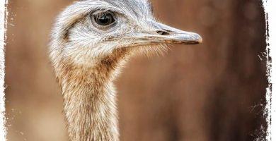 qual significado de sonhar com avestruz ou ema
