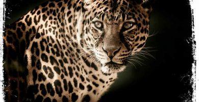 ver leopardo em sonho qual significado