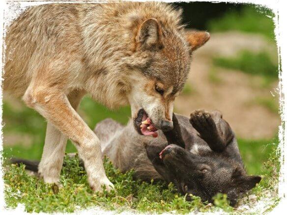 Sonhar com animais brigando entre si