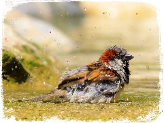 Sonhar com pássaro tomando banho