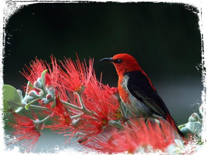 Sonhar com passarinho vermelho