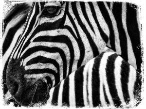 qual explicacao de sonhar com zebra