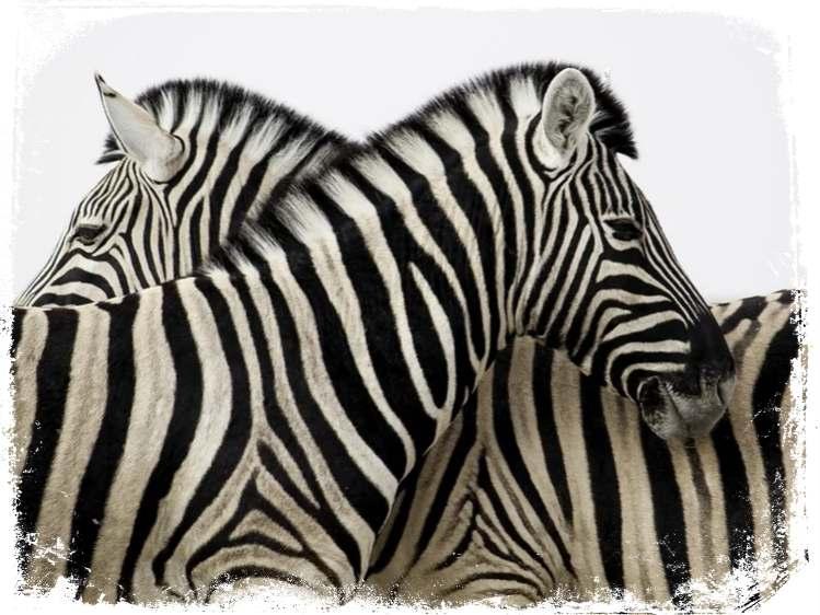 o que significa sonhar que mexi numa zebra