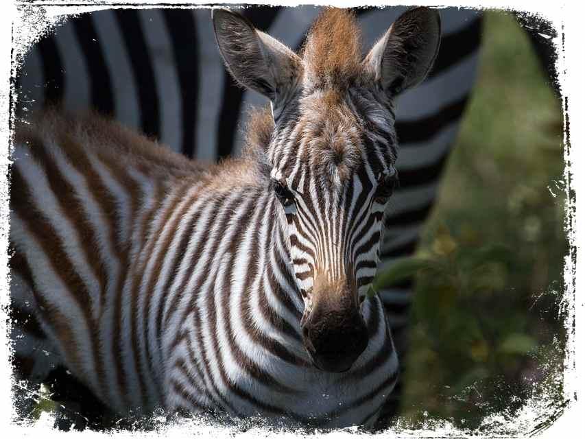qual mensagem de sonhar com zebra filhote