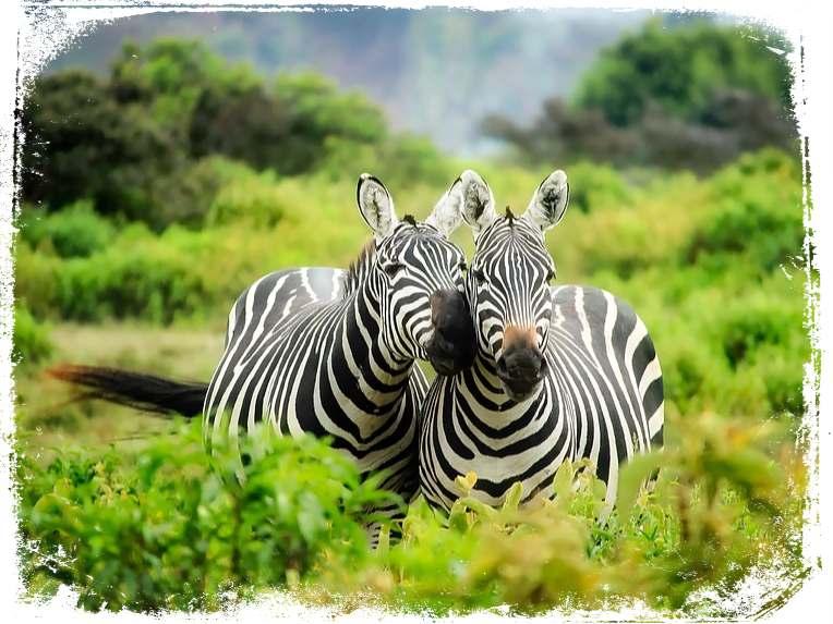 sonhar que ve zebras na floresta