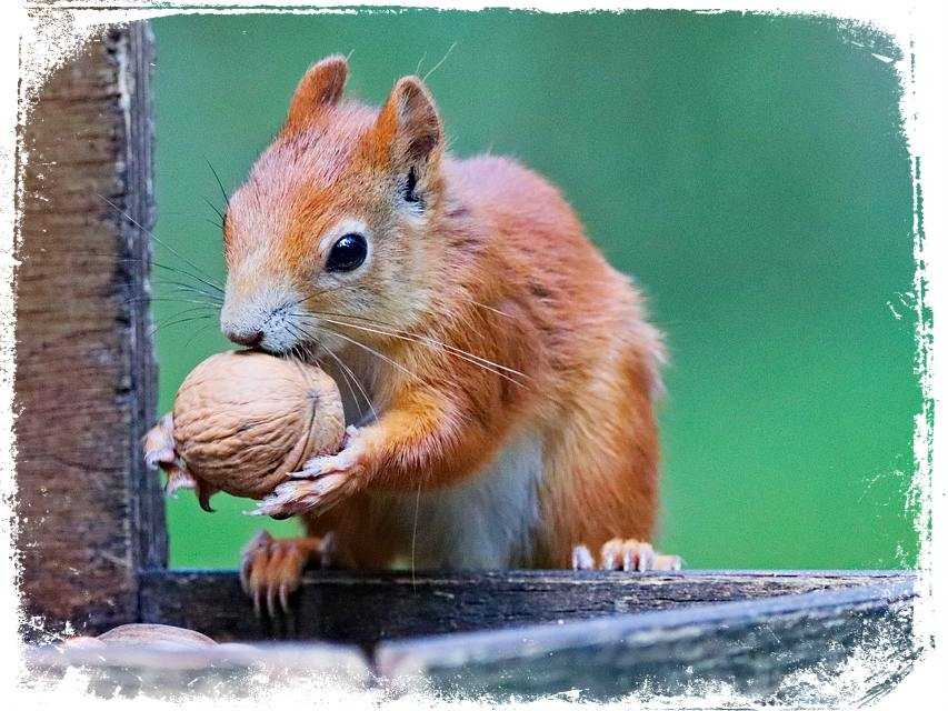 Sonhar-com-esquilo-comendo-noz