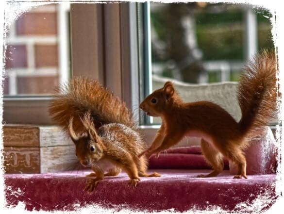 Sonhar com esquilos em casa