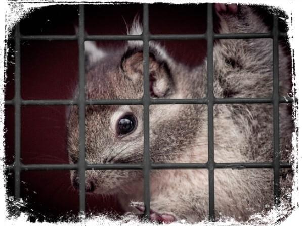 Sonhar com esquilo enjaulado ou preso