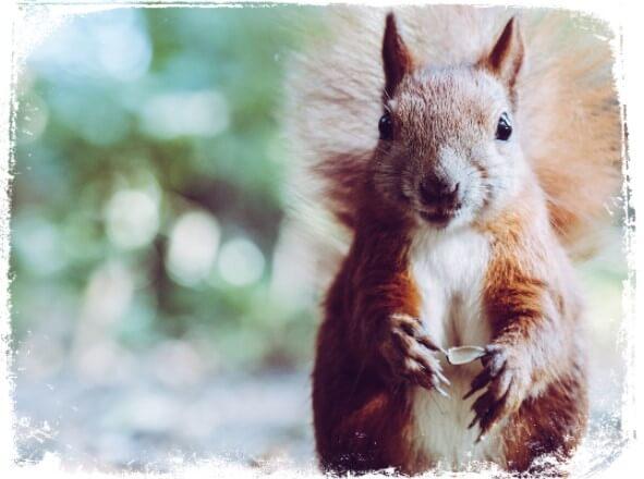 Sonhar com esquilo marrom