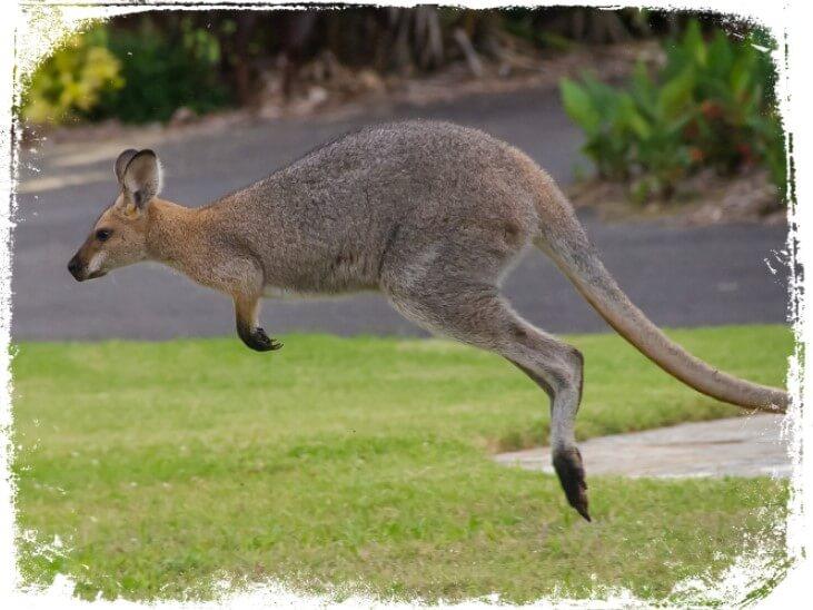 Sonhar com canguru pulando