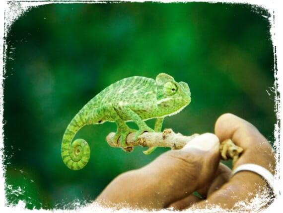 o que significa sonhar com camaleão pequeno ou filhote