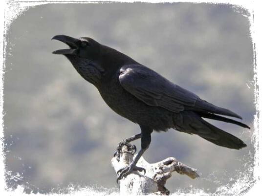 Sonhar com corvo grasnando