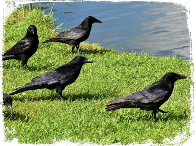 Sonhar com muitos corvos