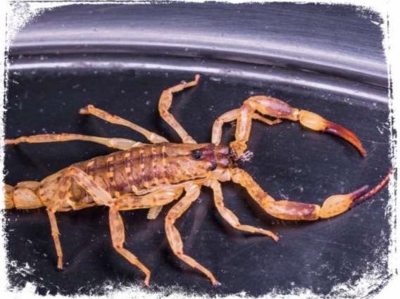 O que significa escorpião em sonho