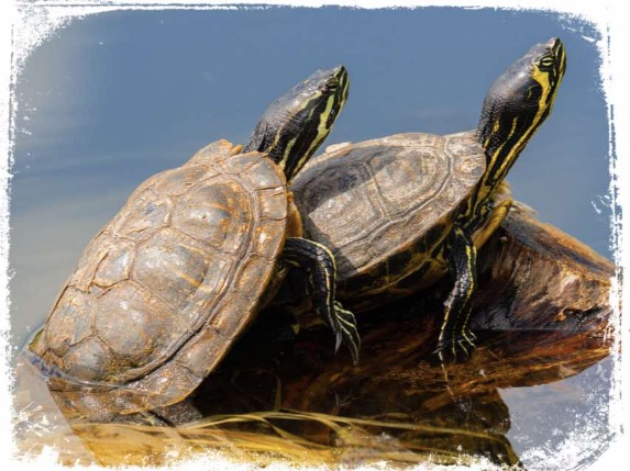 Qual o significado de sonhar com tartaruga acasalando