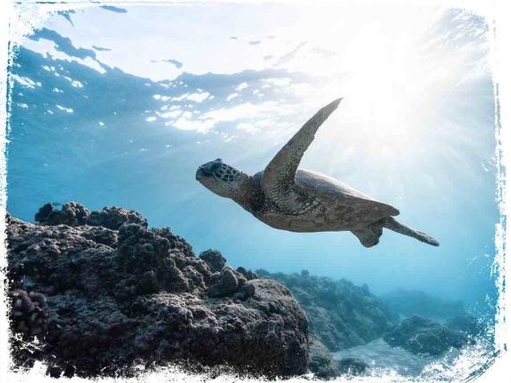 Qual o significado de sonhar com tartaruga na água