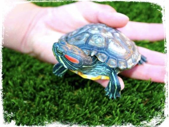 Significado de sonhar com tartaruga na mão