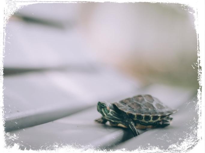 O que significa sonhar com tartaruga pequena