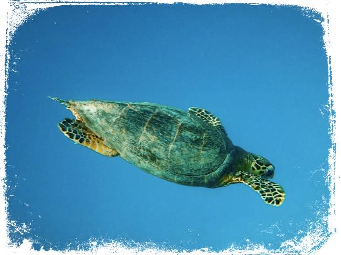Qual o significado de tartaruga verde em sonho