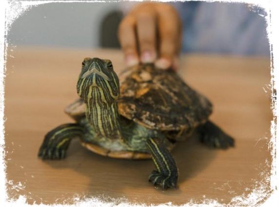 O que significa sonhar que toca em tartaruga