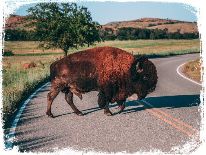 Sonhar com um grande búfalo